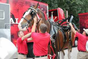 The Budweiser Clydesdales Visit Raleigh - featured
